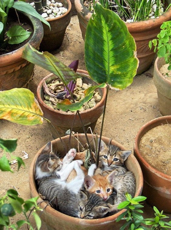 Grow A Cat, How to Grow A Cat,Tutorial, How to Grow Cats, funny cats, cat in pot, humor, funny pictures, cute cats in pots, How Not To Grow A Cat